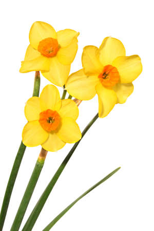 frhling: tree little yellow daffodils