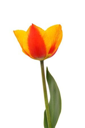 frhling: red and yellow tulip