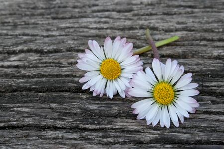 two daisies on a ground of wood photo