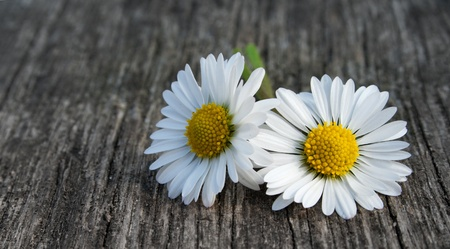 two daisies on a ground of wood Stock Photo