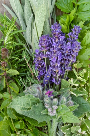 lemon balm,Lavender, rosemary, sage, mint, tarragon,celery, borage, photo