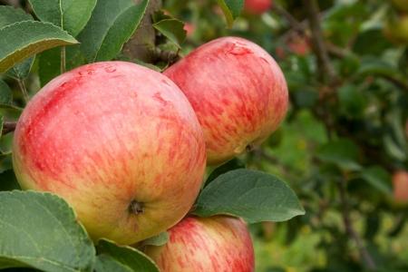 木にリンゴ 写真素材