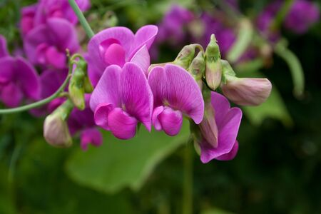 pink sweet pea Stock Photo