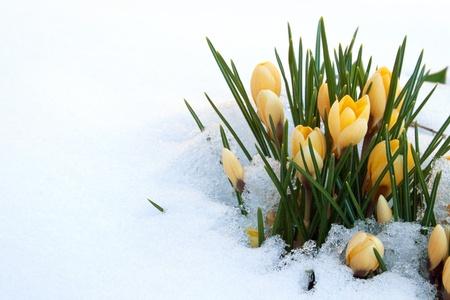 Gelben Krokusse im Schnee Standard-Bild - 18498011