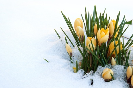 winter flower: yellow crocuses in snow Stock Photo