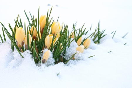gele krokussen in de sneeuw Stockfoto