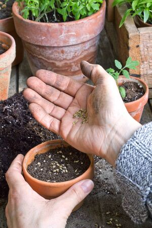 plant seed: hands seeding seed into  flower pots