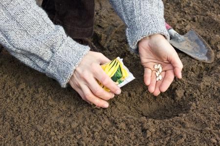seeding: hands seeding seed in garden soil