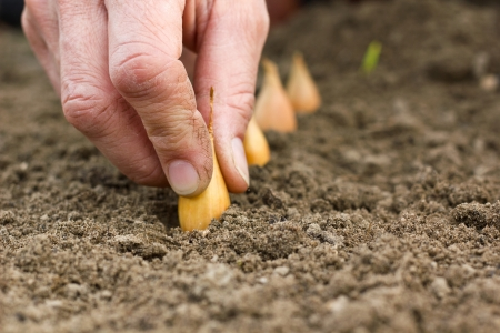 hands planting onions Stock Photo