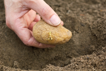 seeding: hands planting potato