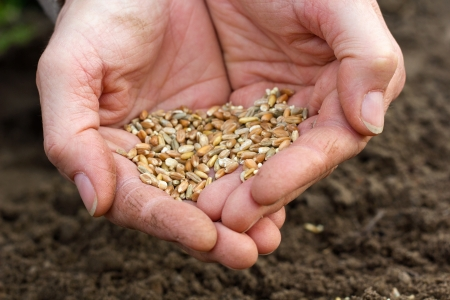 plant seed: hands with grain
