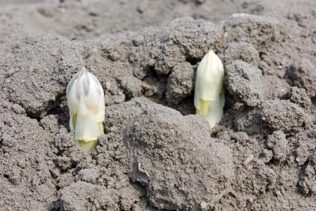 Asparagus in soil