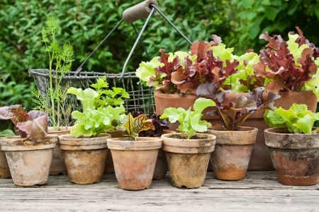 Plant pots with salad and herbs Stock Photo