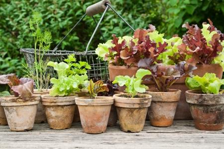 Plantenpotten met salade en kruiden