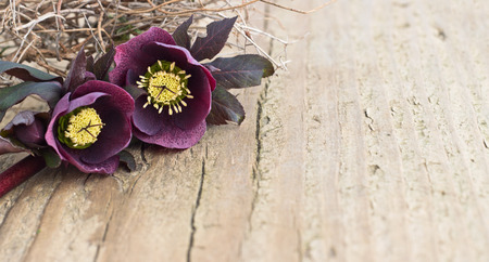 Dark Christroses on a wooden board