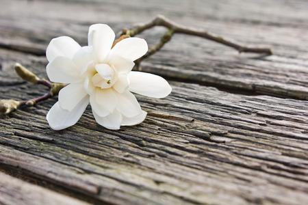 Weiße Magnolie auf einem Brett Standard-Bild - 27597261