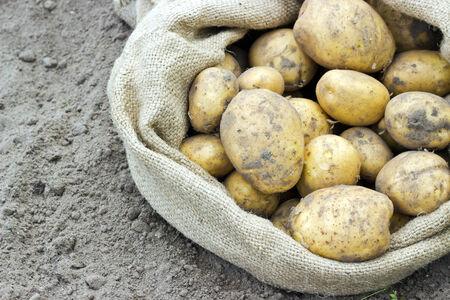 gunny bag: Bag with fresh, yellow potatoes Stock Photo