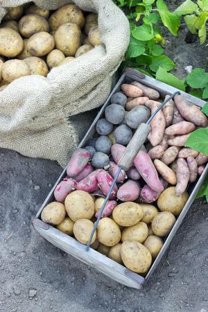 potato basket: Bag and basket with fresh, different potatoes