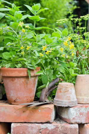 Pots with tomato plant and herbs Standard-Bild