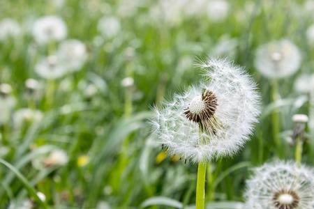 Dandelions on a meadow Standard-Bild
