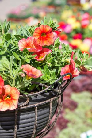 petunias: red petunias Hanging Basket with red petunias