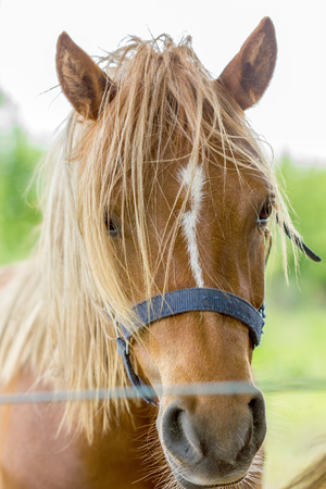 light brown horse: brown horse with light mane