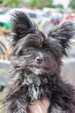 big ear: Young black dog with big ear