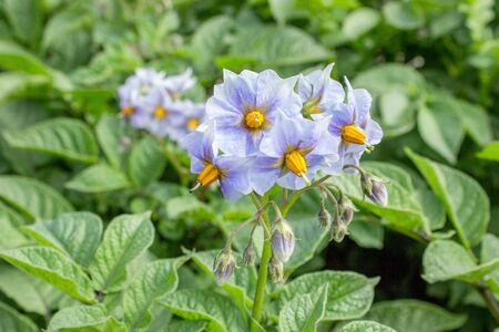 Congo: Blue flowers of potato Blue Congo