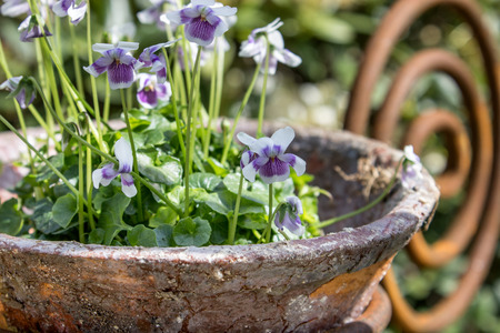 garden flower: Garden decoration with purple horned violets Stock Photo