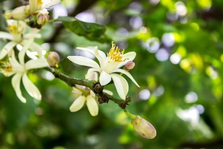Citrus Baum mit Blumen