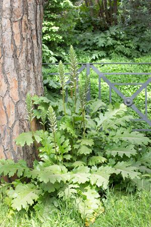 acanthus: acanthus plant under a tree