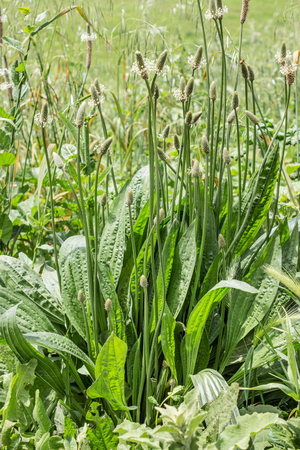 plantain: Plantain plant in a meadow