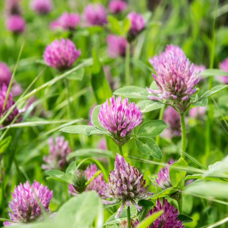 red clover: Meadow with blooming red clover