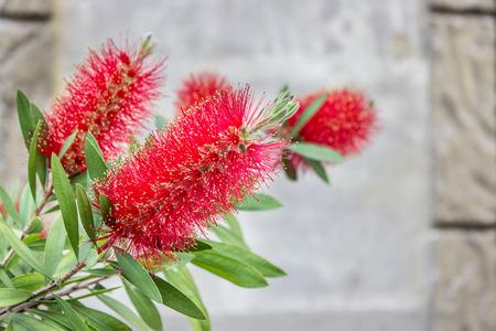 lanceolatus: red flowers of the Bottle Brush shrub
