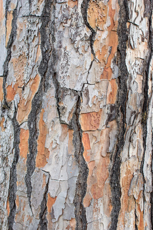 barque: Bark of a pine tree