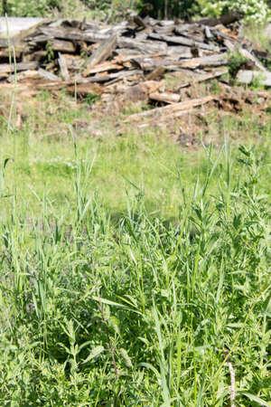herbs wild: Wild herbs in front of a pile of old wood Foto de archivo