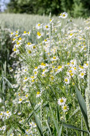wheatfield: Camomile in a wheatfield Stock Photo