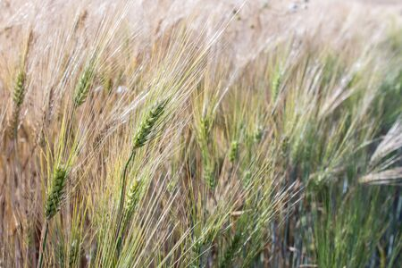 nearly: nearly mature barley in a field