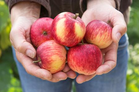 manzana: Manos que sostienen, manzanas rojas maduras