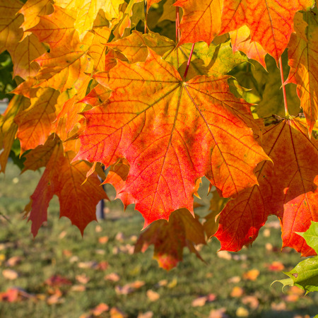 red maple leaf: Red maple leaf in autumn