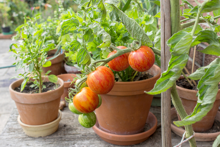 Tomato plant with green and red fruits Stock Photo