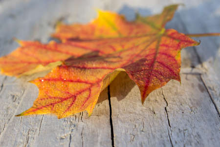 red maple leaf: Red maple leaf on a wooden background