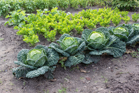 Vegetable with kale and celery Standard-Bild