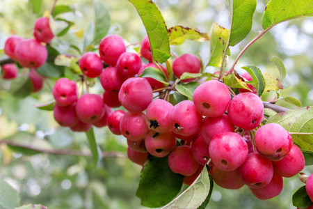crab apple tree: Branch with crab apples and leaves