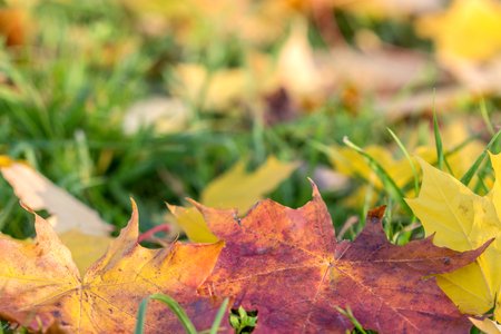 red maple leaf: colored maple leaves in green grass