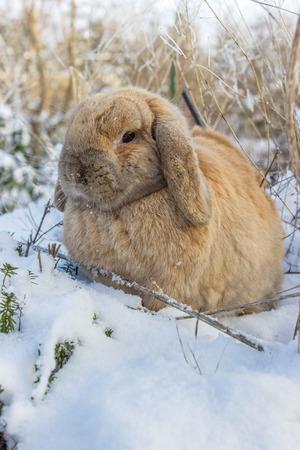 Eine braune Zwergkaninchen im verschneiten Garten Standard-Bild