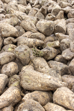 unwashed: hill with sugarbeet harvested