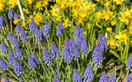hyacinths: hyacinths and daffodils Stock Photo