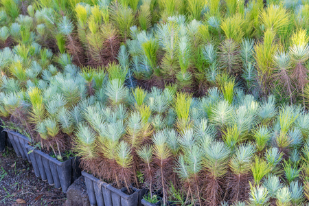 conifers: Small seedlings of conifers Stock Photo