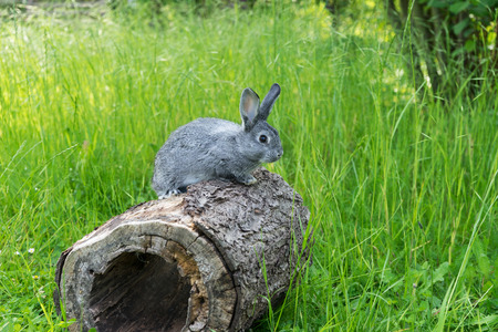 A gray gray rabbit sitting on a tree trunk